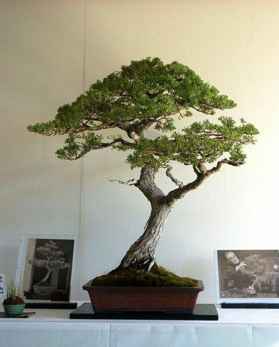 drzewko bonzai