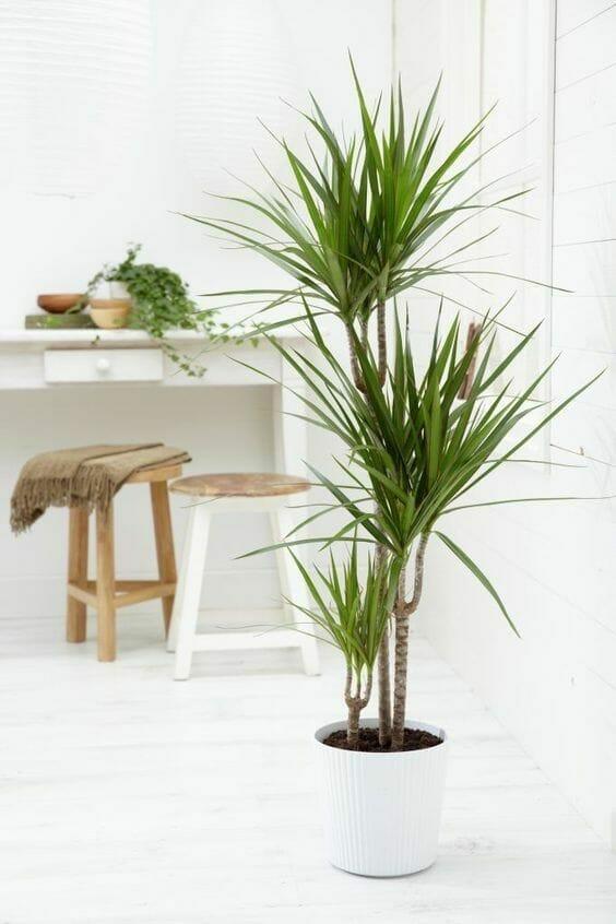 rośliny oczyszczające powietrze dracena