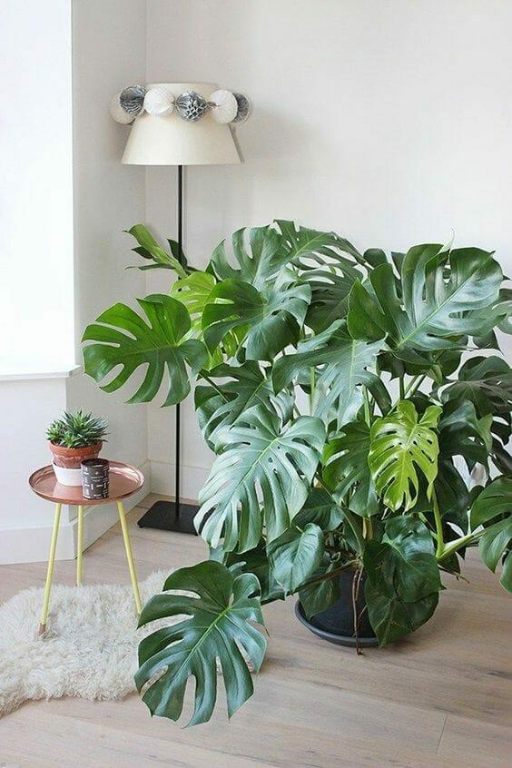 roślina monstera