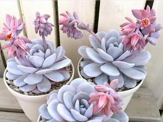 różowe sukulenty