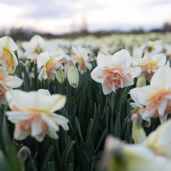 narcyz kwitnący na polu odmiana pudroworóżowa