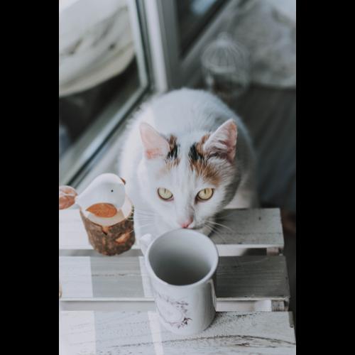 Czy rasa kota ma wpływ na zalecaną karmę?